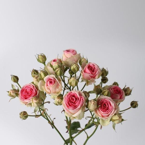 Boeket Mimi Eden trosrozen. Dit zijn Franse, tweekleurige trosrozen, met een witte/crème buitenkant en een roze binnenkant. Mimi Eden staat bekend om haar enorm goede kwaliteit.